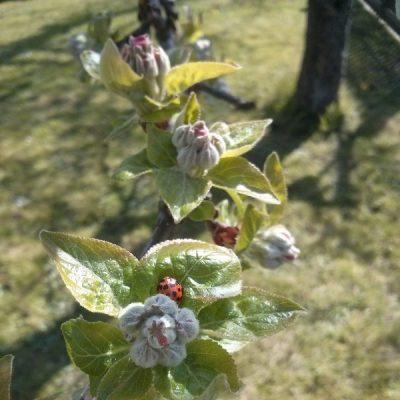 Die Apfelblüte steht kurz bevor und die ersten Marienkäfer lassen sich blicken.