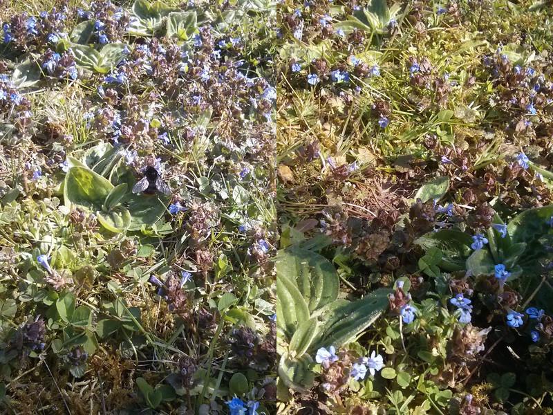 Suchbild: Biene und Hummel fühlen sich wohl auf der blütenreichen Wiese.