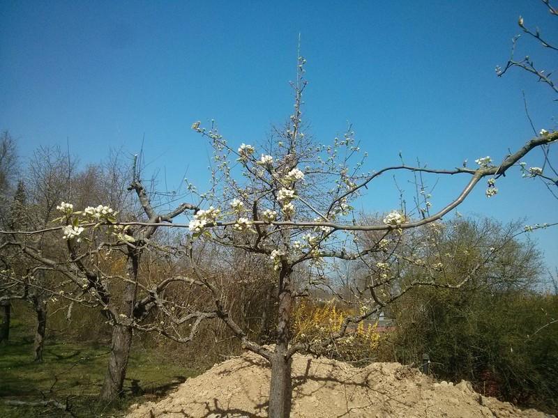 Der Birnbaum steht schon in der Blüte.