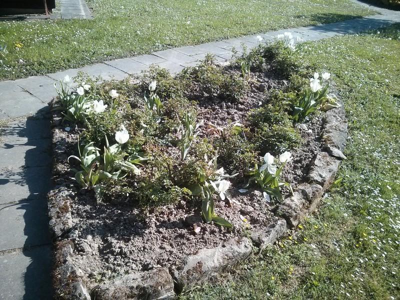 Tulpen zwischen den Rosen